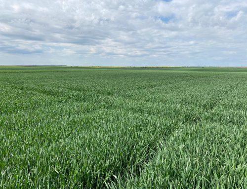 Asigurarea împotriva căderii plantelor de grâu